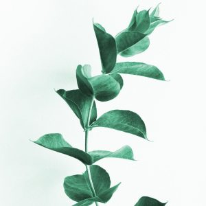 eucalyptus, leaves, leaf