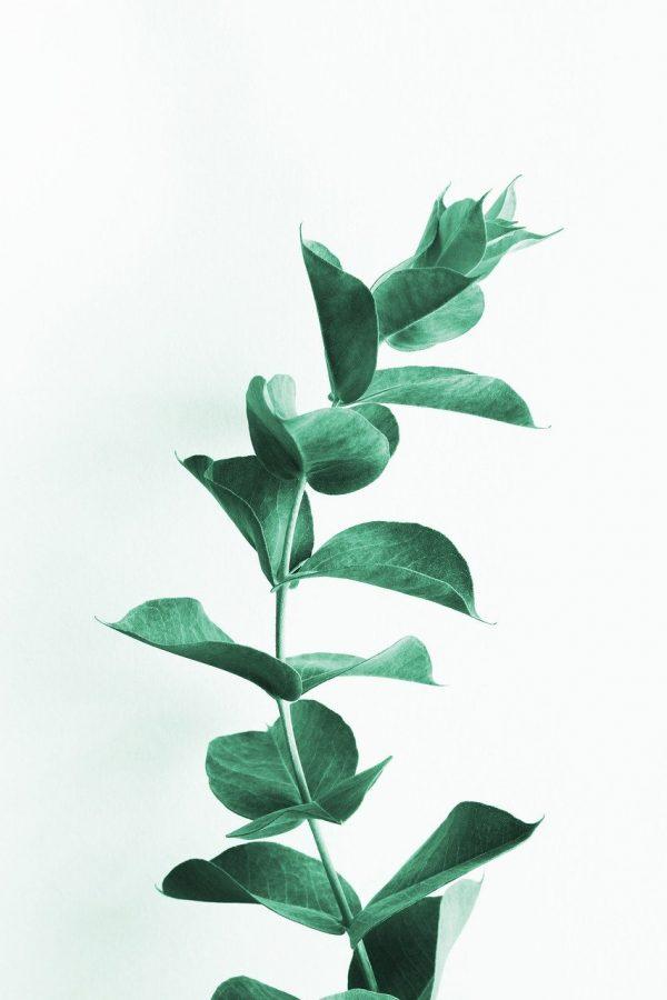 eucalyptus, leaves, leaf