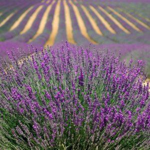 lavender, lavender field, french lavender