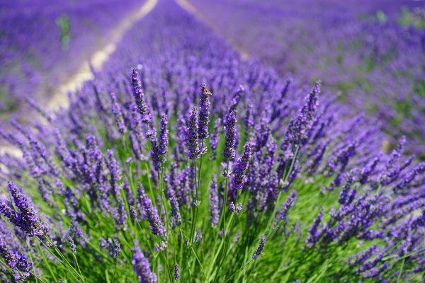 lavender, flowers, field